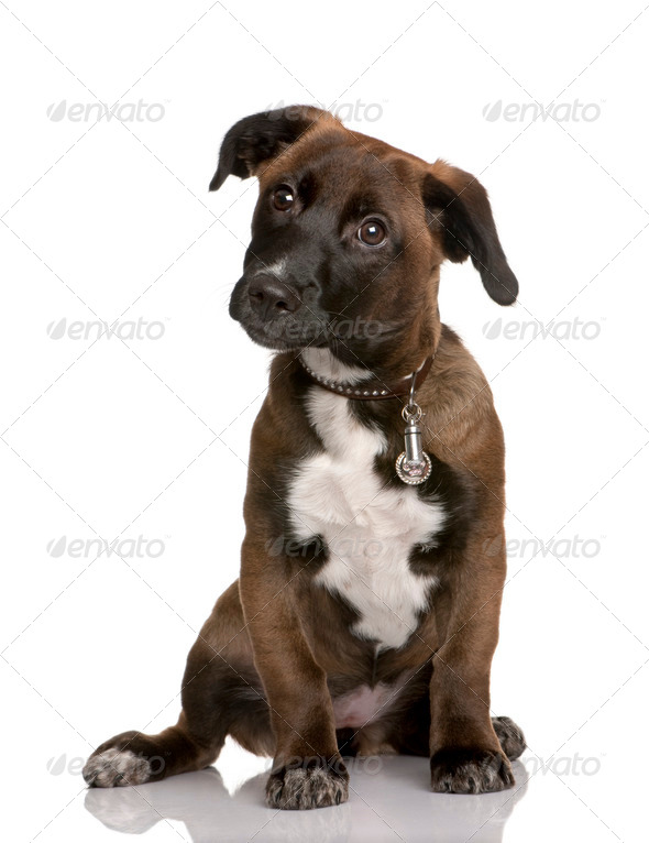 Bastard puppy, 4 months old, sitting in front of white background - Stock Photo - Images