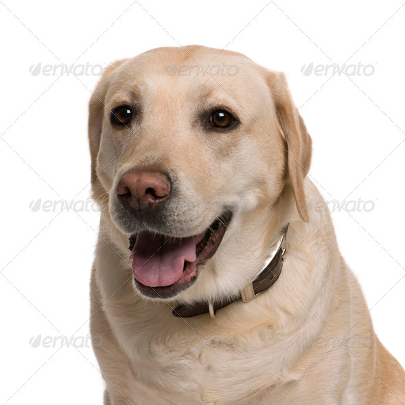 Labrador, 5 years old, in front of white background, studio shot - Stock Photo - Images
