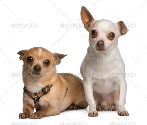 Two Chihuahuas, 7 years old, standing in front of white background - Stock Photo - Images