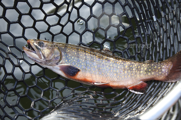 Male brook trout in spawning colors in a landing net - Stock Photo - Images