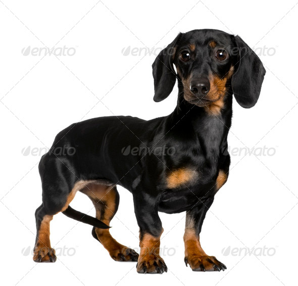 Daschund, 10 months old, standing in front of white background - Stock Photo - Images
