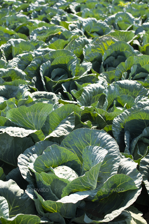 Cabbage farm. Sunlights on Cabbage in garden. - Stock Photo - Images
