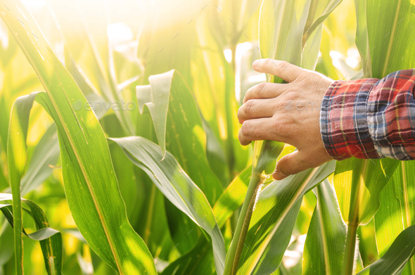 Farmer's hand touching maize stalks at field summer time - Stock Photo - Images