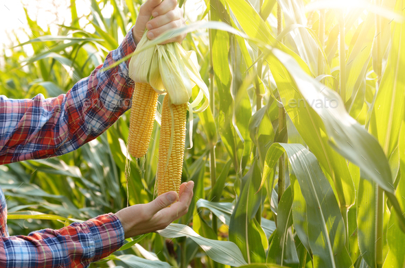 Middle age Farmer hold fresh organic corn cobs in his hands. Har - Stock Photo - Images