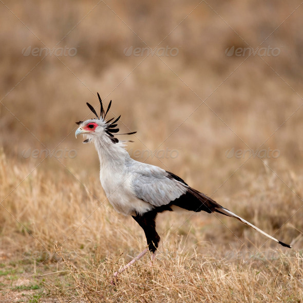 Side view of Secretary bird, Serengeti National Park, Serengeti, Tanzania, Africa - Stock Photo - Images