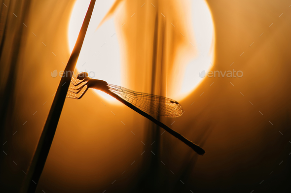 Silhouette of damselfly among the warm light of sunset - Stock Photo - Images