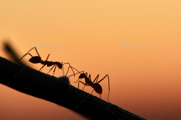 Silhouette of ant the plant - Stock Photo - Images