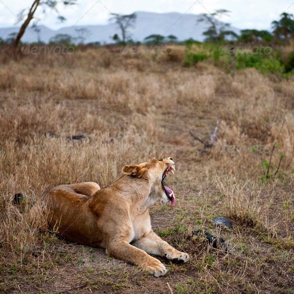 Lioness lying down and yawning, Serengeti National Park, Serengeti, Tanzania - Stock Photo - Images