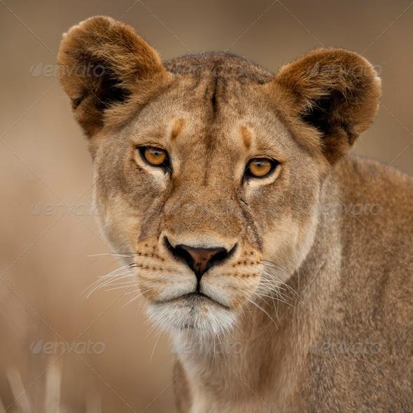 Close-up portrait of Serengeti National Park, Serengeti, Tanzania, Africa - Stock Photo - Images