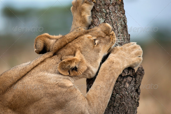 Lioness sharpening teeth on tree, Serengeti National Park, Serengeti, Tanzania, Africa - Stock Photo - Images