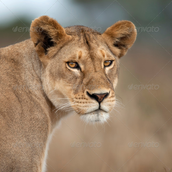 Close-up of Lioness in Serengeti, Tanzania, Africa - Stock Photo - Images