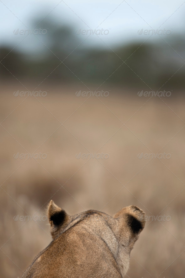 Rear view of Lioness in Serengeti, Tanzania, Africa - Stock Photo - Images