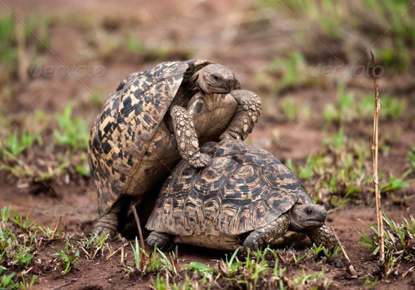 Two turtles mating - Stock Photo - Images