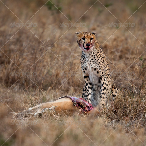 Cheetah sitting and eating prey, Serengeti National Park, Tanzania, Africa - Stock Photo - Images