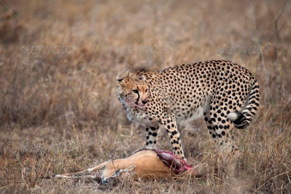 Cheetah with prey, Serengeti National Park, Tanzania, Africa - Stock Photo - Images