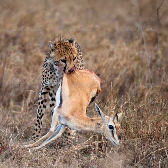 Cheetah carrying prey, Serengeti National Park, Tanzania, Africa - Stock Photo - Images