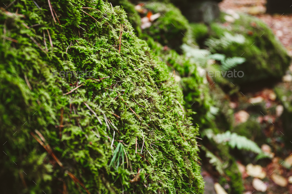 Macro photography of green moss on stones in a northern forest. Nature background. - Stock Photo - Images