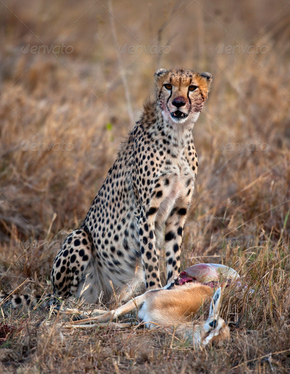Cheetah sitting and eating prey, Serengeti National Park, Tanzania, Africa - Stock Photo - Images