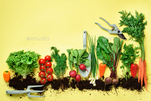 Organic vegetables and garden tools on yellow background with copy space. Top view of carrot, beet - Stock Photo - Images