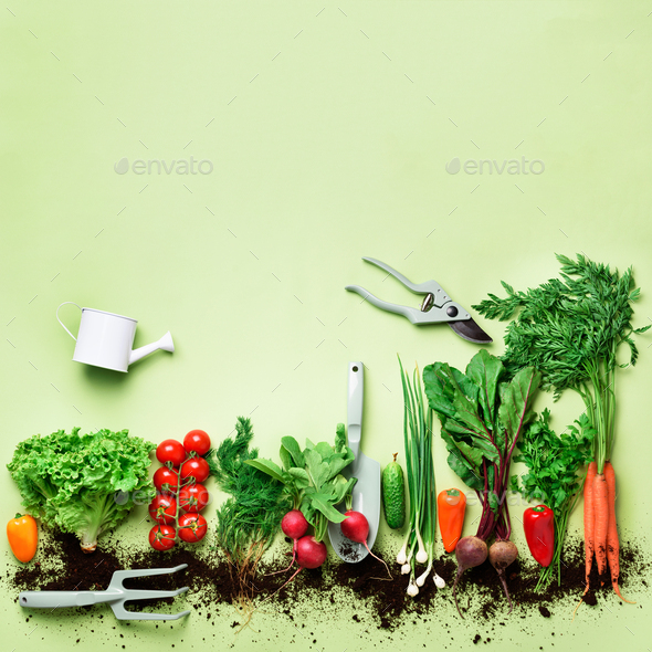 Organic vegetables and garden tools on green background with copy space. Square crop. Top view of - Stock Photo - Images