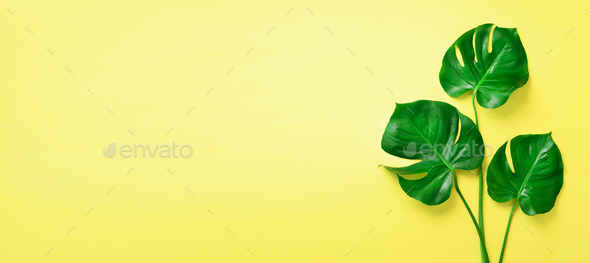 Green monstera leaves on yellow background with copy space. Top view. Banner. Minimal design. Exotic - Stock Photo - Images