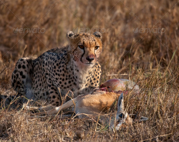 Cheetah eating prey, Serengeti National Park, Tanzania, Africa - Stock Photo - Images