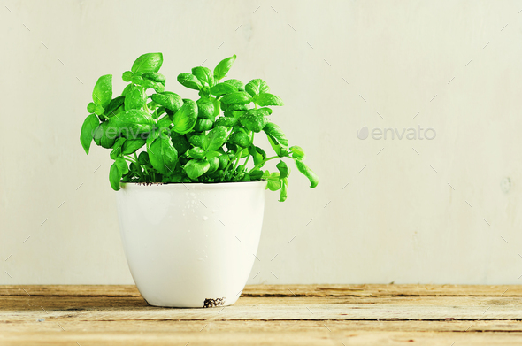 Fresh basil leaves, herb with water drops and sunlight on white background. Potted herbs. Macro - Stock Photo - Images