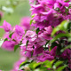 Bougainvillea In The Rain II - VideoHive Item for Sale