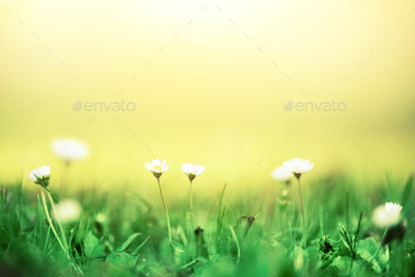 Field of daisy flowers. Fresh green spring grass with sun leaks effect, copy space. Soft Focus - Stock Photo - Images