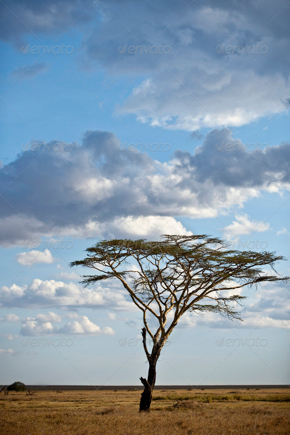Tree and landscape of Serengeti National Park, Serengeti, Tanzania, Africa - Stock Photo - Images