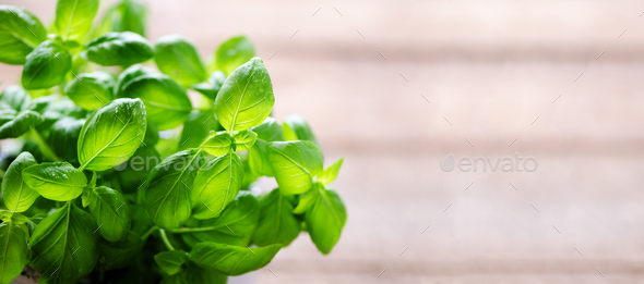 Fresh basil leaves, herb with water drops and sunlight on white background. Macro. Close up. Copy - Stock Photo - Images