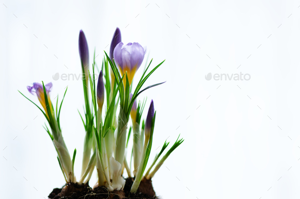Beautiful purple violet crocuses in pot on white background with copyspace. Spring concept. Free - Stock Photo - Images