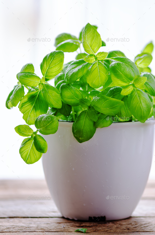Fresh basilic in pot, herb with water drops and sunlight on white background. Macro. Close up. Copy - Stock Photo - Images