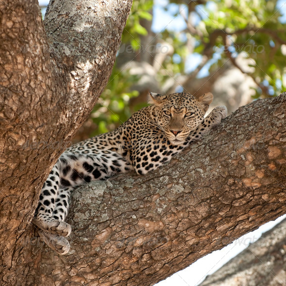 leopard lying on a tree - Stock Photo - Images