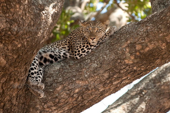 Leopard resting in tree, Serengeti, Tanzania, Africa - Stock Photo - Images
