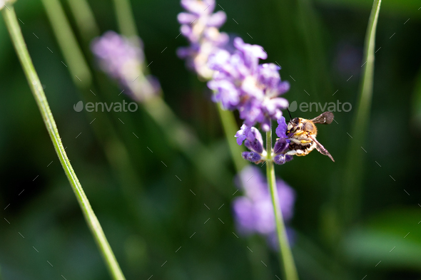 Honey bee on lavender flower. Honey bee is collecting pollen - Stock Photo - Images