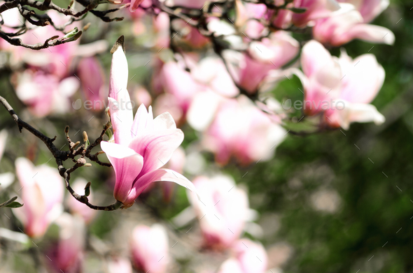 Blooming magnolia tree in the spring sun rays. Selective focus. Copy space. Easter, blossom spring - Stock Photo - Images