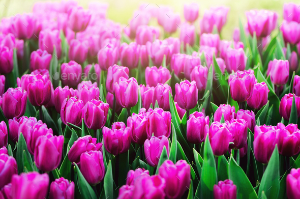 Violet, purple, lilac tulips background. Summer and spring concept, copy space. Tulip flowers field - Stock Photo - Images