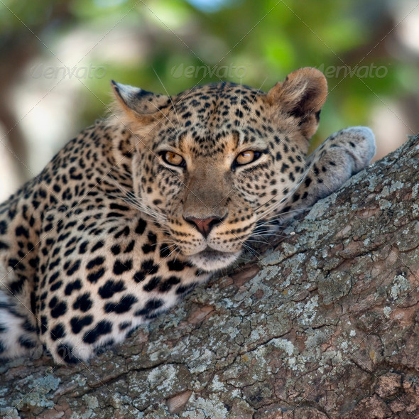 Close-up of a leopard lying in branch of tree - Stock Photo - Images