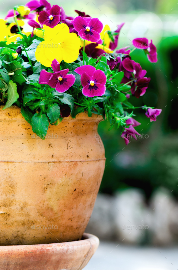 Yellow and violet pansies in flower pot in garden. Copy space. Spring and summer concept - Stock Photo - Images
