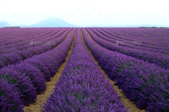 Lilac lavender field, summer landscape near Valensole in Provence, France. Nature background with - Stock Photo - Images