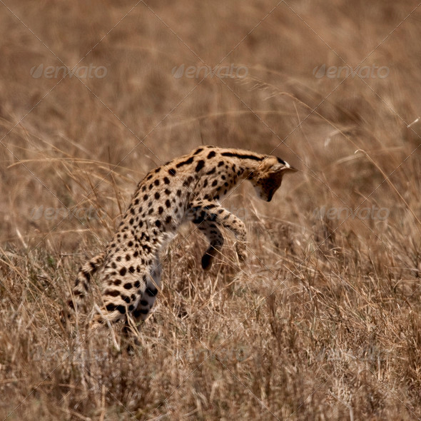 Serval jumping, Serengeti National Park, Serengeti, Tanzania - Stock Photo - Images