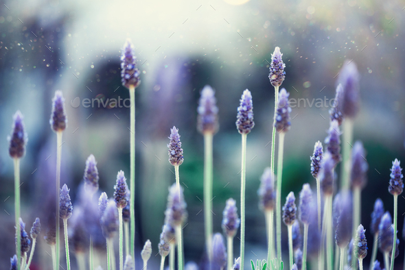 Lavender plant field. Lavandula angustifolia flower. Blooming violet wild flowers background with - Stock Photo - Images