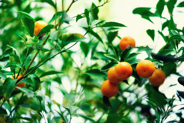 Orange tree with whole fruits. Fresh oranges on branch with green leaves, sunlight effect. Summer - Stock Photo - Images