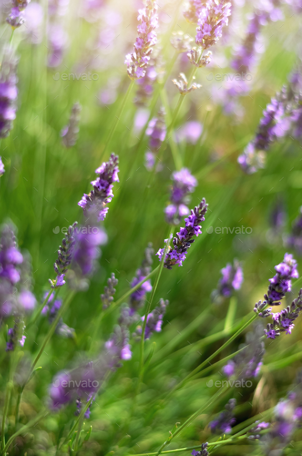 Macro of blooming violet lavender flowers. Provence nature background. Lavender field in sunlight - Stock Photo - Images