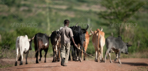 Rear view of boy with herd of cattle, Serengeti National Park, Serengeti, Tanzania, Africa - Stock Photo - Images