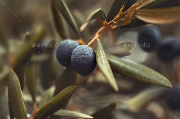 Black olive tree background - Stock Photo - Images