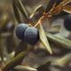 Black olive tree background - PhotoDune Item for Sale