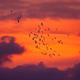 Bird migration - PhotoDune Item for Sale