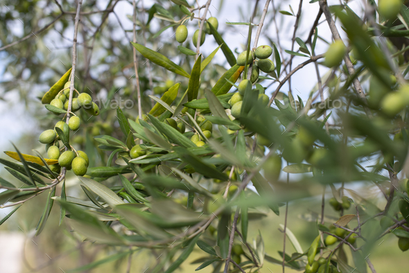 Olive tree close up. Branch with olives - Stock Photo - Images